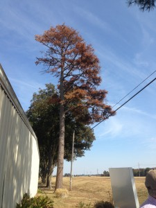Pine that has been severely damaged.