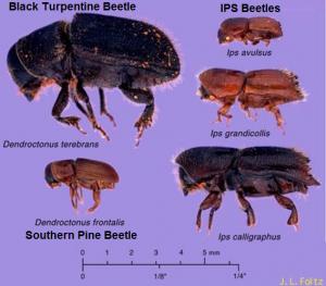 SBP IPS and Black Turpentine Beetles