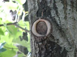Proper pruning cut (Photo: N. Kleczewski, OSU)