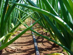 Onions irrigated by drip irrigation. Photo (Michigan State University Extension)