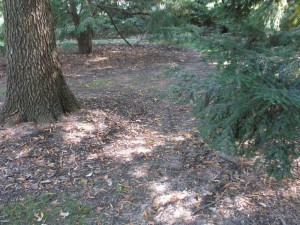 Insufficient light for turf grass caused by mature trees. Photo: Missouri Botanical Garden