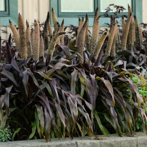 Ms State University >> ORNAMENTAL MILLET Copper Prince | Truck Crops Trial Gardens