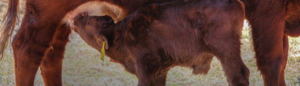 Calf eating