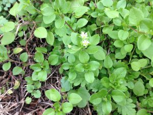 Common Chickweed MSU GC (5) (Medium) (2)