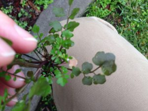 Hairy Bittercress Blog Reduced-2