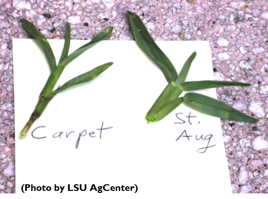 Carpetgrass v. St. Aug