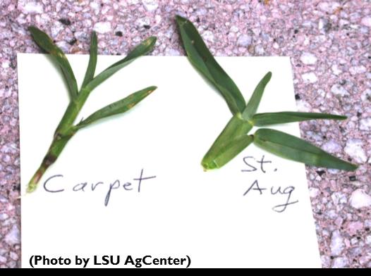Carpetgrass v. St. Aug